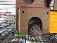 Dobra klatka dla szczura